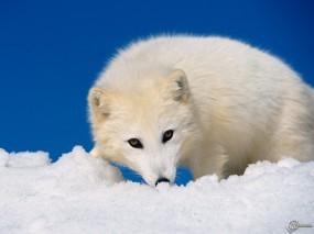 Обои Белый песец: Снег, Белый, Песец, Прочие животные