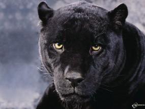 Обои Черная Пантера: Морда, Чёрная Пантера, Прочие животные