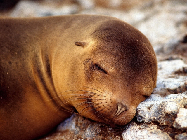 Морской котик спящий