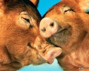 Обои Две свиньи: Свиньи, Прочие животные
