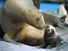 Обои Тюлени: Тюлени, Прочие животные