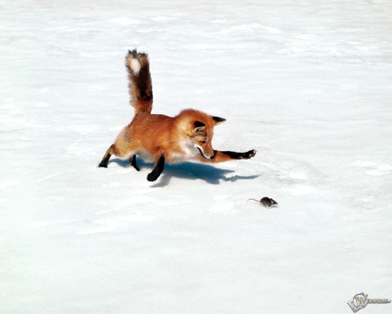 Лиса ловит мышку 1280x1024