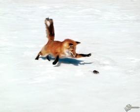 Обои Лиса ловит мышку: Лиса, Прочие животные