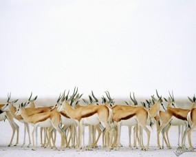 Обои Антилопы: Антилопы, Прочие животные