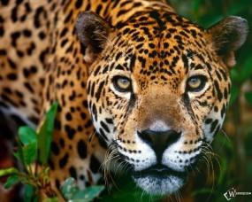 Обои Ягуар: Ягуар, Прочие животные