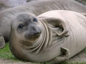 Обои Тюлень: Тюлень, Прочие животные