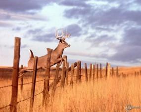 Обои Прыгающий олень: Забор, Прыжок, Олень, Ограда, Прочие животные