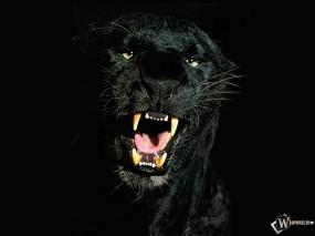 Обои Черная Пантера: Пантера, Прочие животные