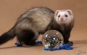 Обои Хорек и стеклянный шар: Хорек, Прочие животные