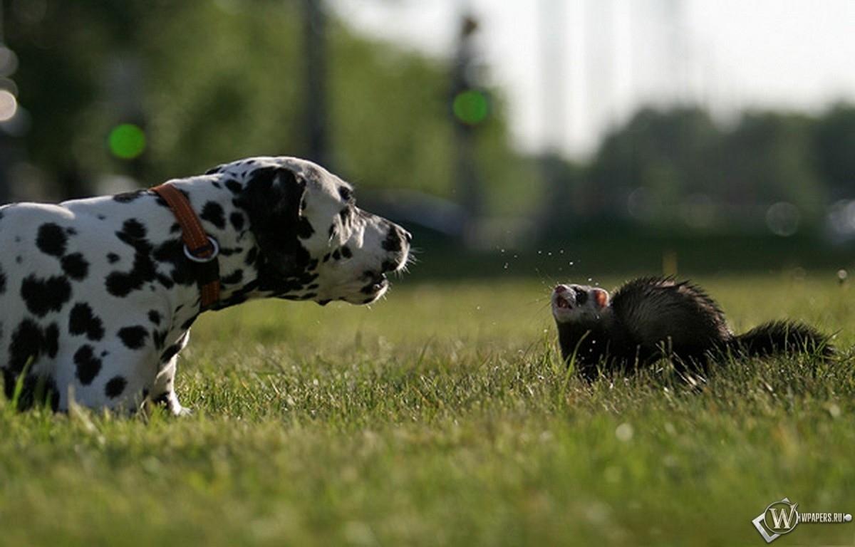 Хорек и собака 1200x768