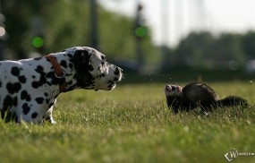 Хорек и собака