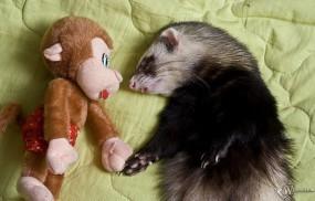 Обои Хорек и обезьяна: Хорек, Прочие животные