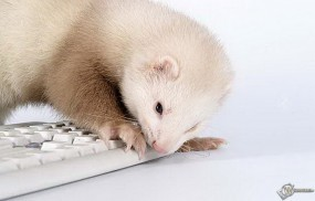 Обои Хорек и клавиатура: Хорек, Прочие животные