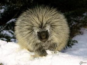 Обои Дикобраз зимой: Дикобраз, Прочие животные