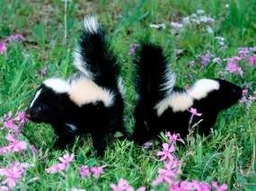 Обои Два маленьких скунса: Скунсы, Прочие животные
