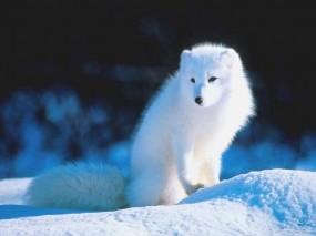 Обои Белый песец: Песец, Прочие животные