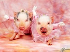 Обои Две розовые хрюшки: Хрюшки, Поросята, Прочие животные