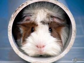 Обои Морская свинка в трубе: Морская свинка, Прочие животные