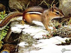 Обои Бурундук: Бурундук, Прочие животные