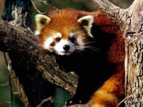 Обои Красная панда: Красная панда, Прочие животные