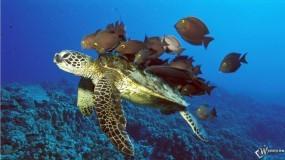 Обои Черепаха: Черепаха, Прочие животные