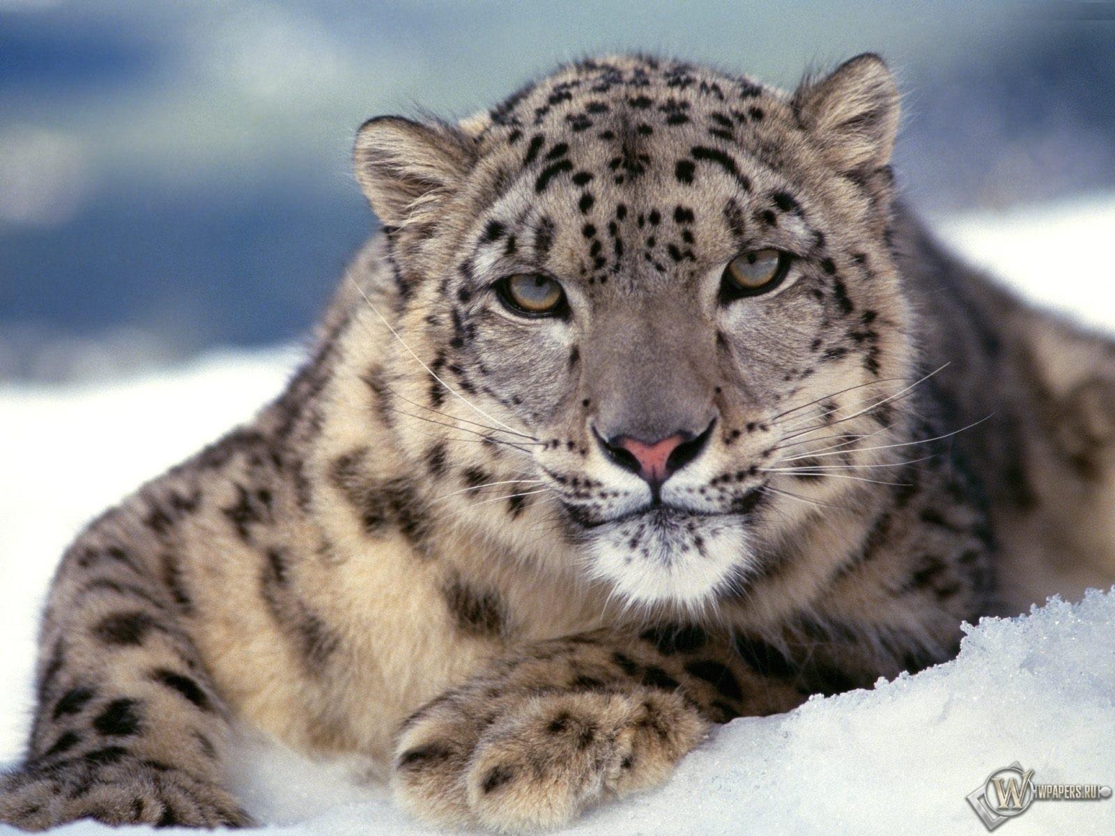 Снежный барс 1600x1200