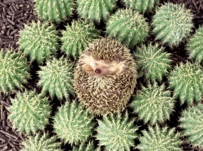 Обои Ёж на кактусах: Кактус, Колючки, Ёж, Прочие животные