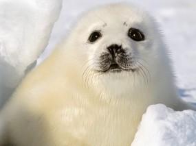 Обои Белый тюлень: Снег, Взгляд, Белый, Тюлень, Детеныш, Прочие животные