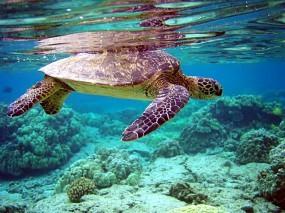 Обои Черепаха плывет: Под водой, Черепаха, Кораллы, Дно, Прочие животные