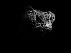 Обои Хамелеон: Ч/б, Ящер, Хамелеон, Прочие животные