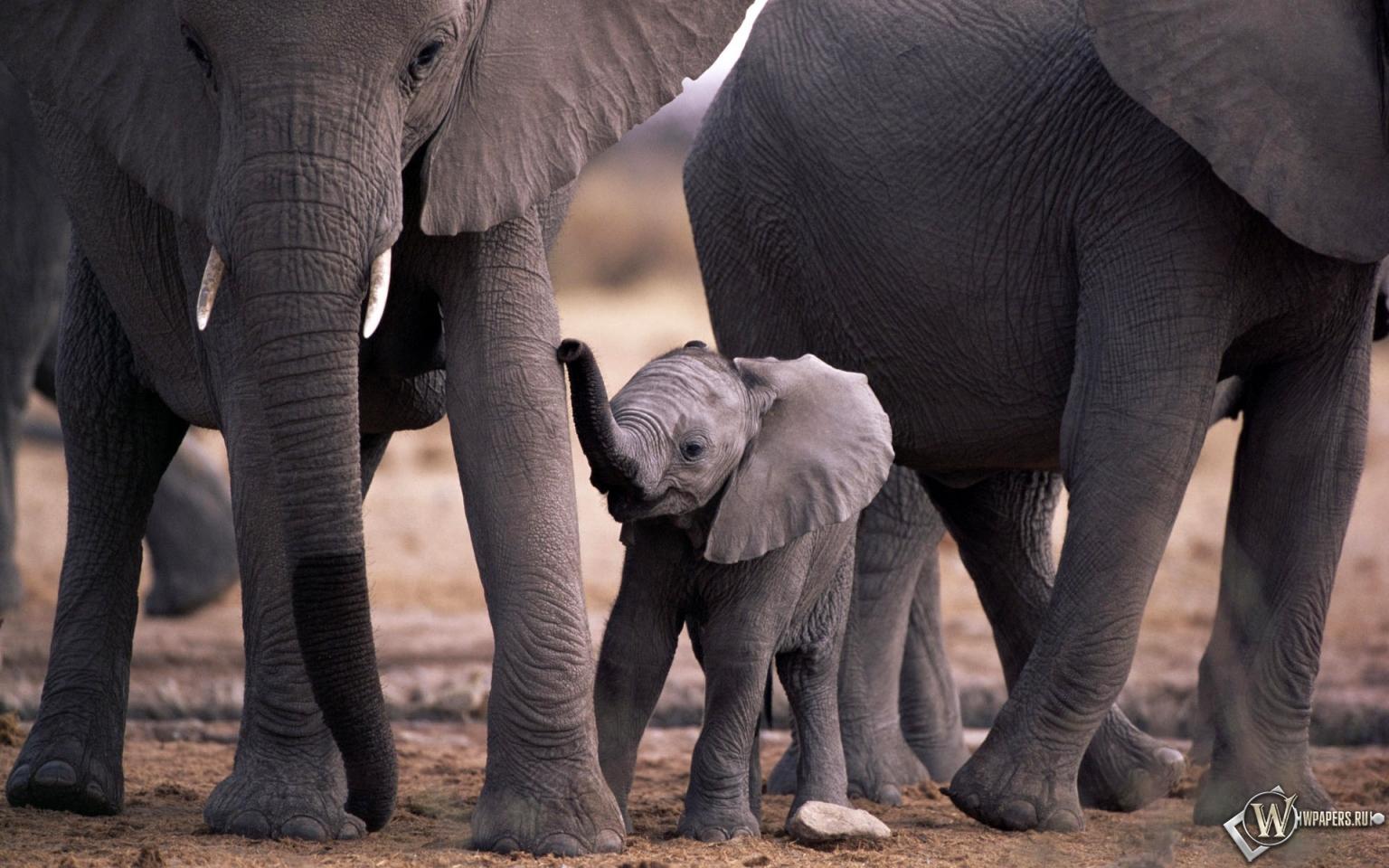 Стринги со слоником 24 фотография