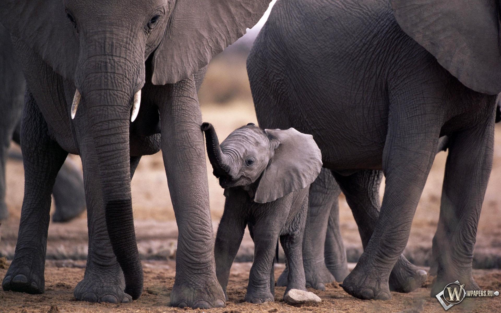 Слоны и слоненок 1920x1200
