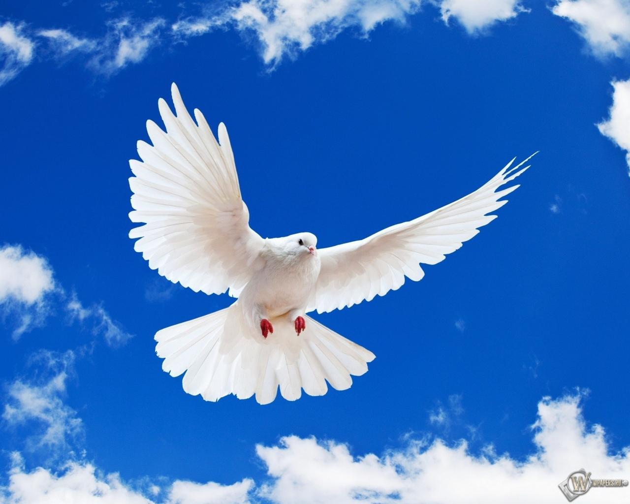 Обои летящий белый голубь на рабочий