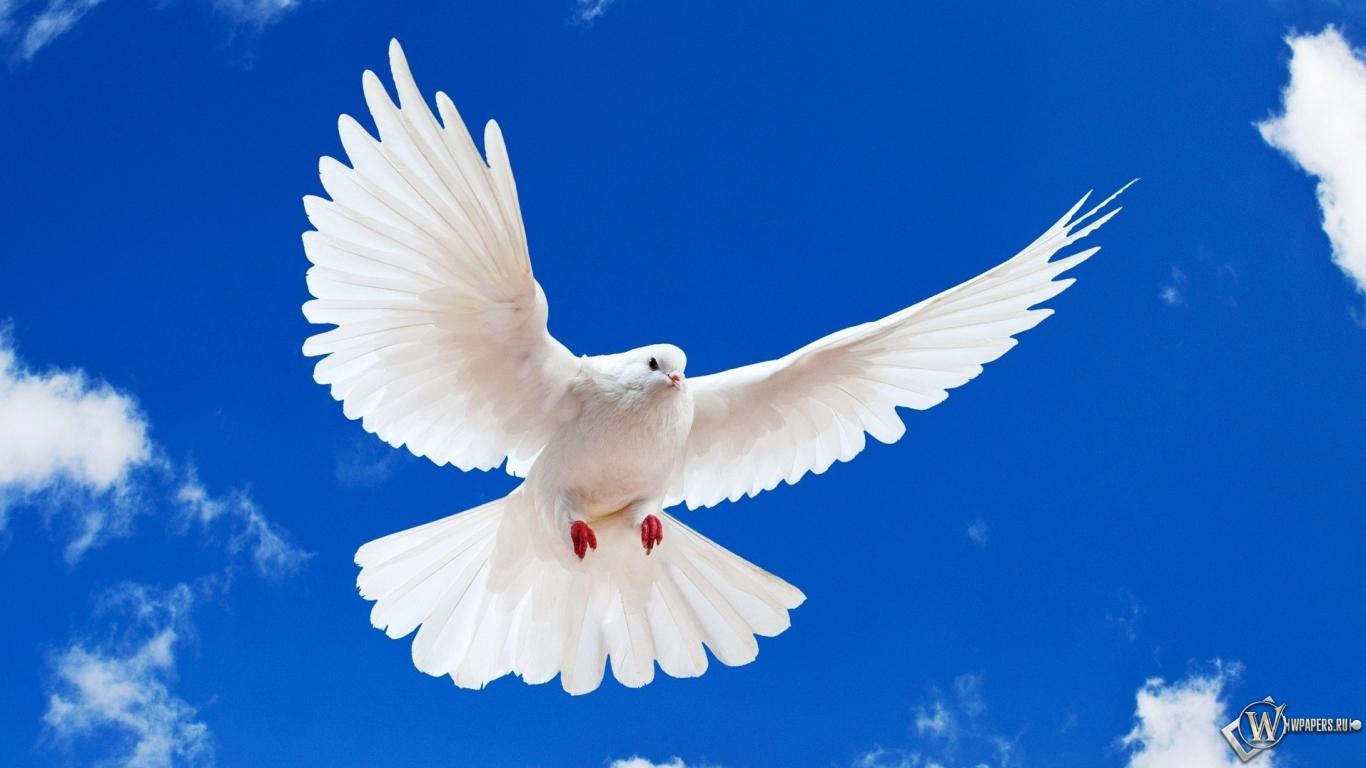 голубей на рабочий стол