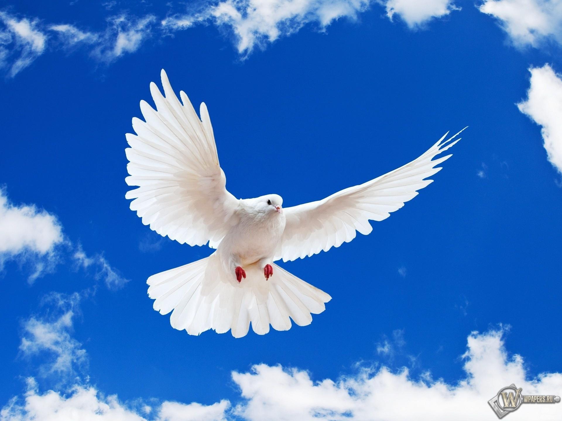Летящий белый голубь 1920x1440
