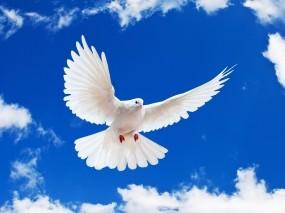 Летящий белый голубь