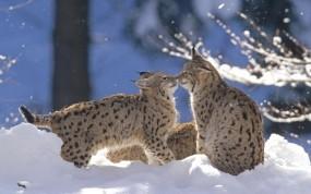 Обои Рыси: Снег, Рыси, Рысята, Прочие животные