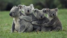 Обои Коалы: Коала, Паровозик, Семейство, Прочие животные