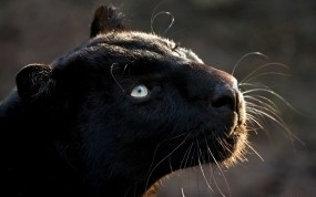 Обои Пантера: Взгляд, Хищник, Кошка, Пантера, Прочие животные