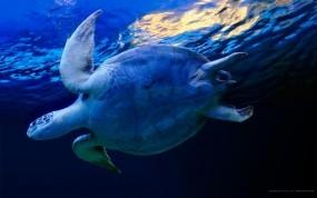 Обои Черепаха в воде: Вода, Синий, Черепаха, Прочие животные