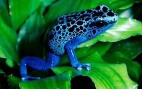 Обои Синяя лягушка: Лист, Лягушка, Прочие животные