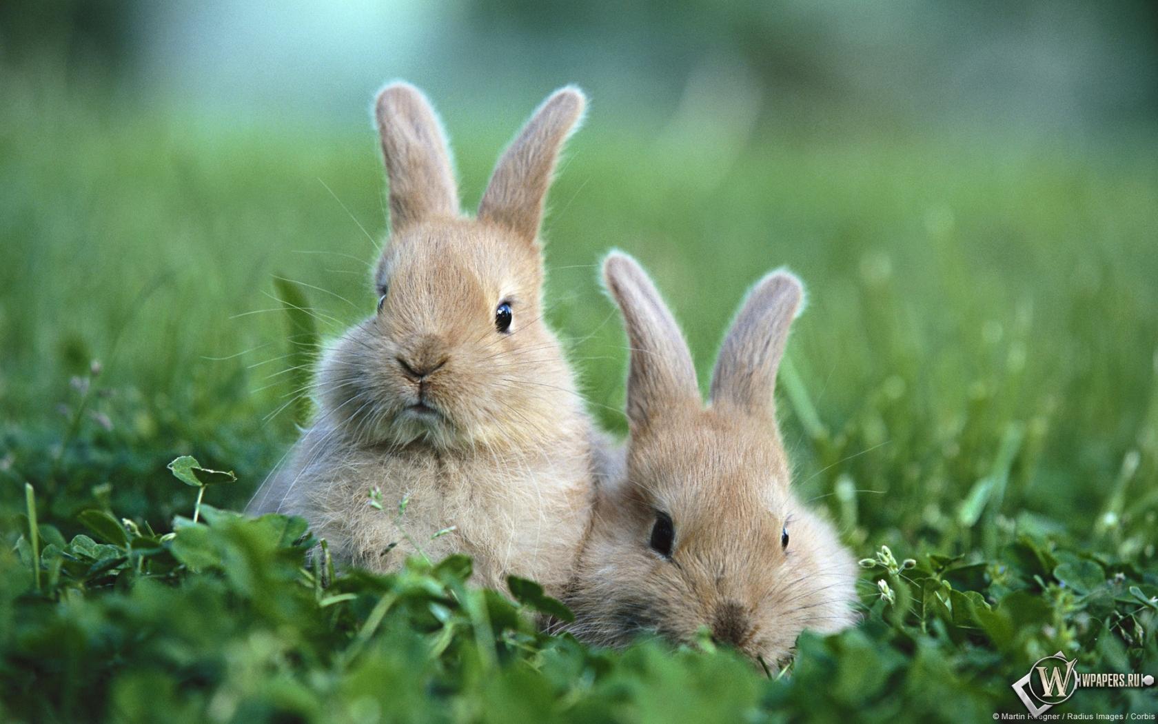 Обои кролики животные кролики