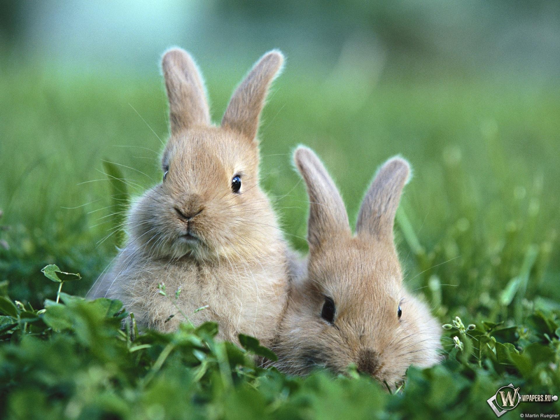 Кролики обои на рабочий стол 1920х1080