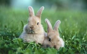 Обои Кролики: Животные, Кролики, Пушистики, Зайцы