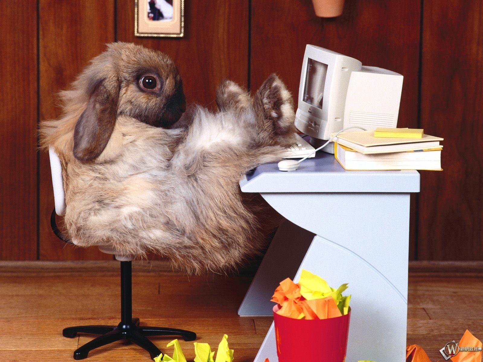 Обои заяц за компом компьютер кролик
