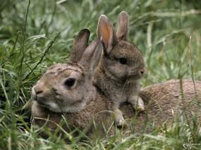 Обои Зайчиха с зайченком: Зайцы, Зайцы
