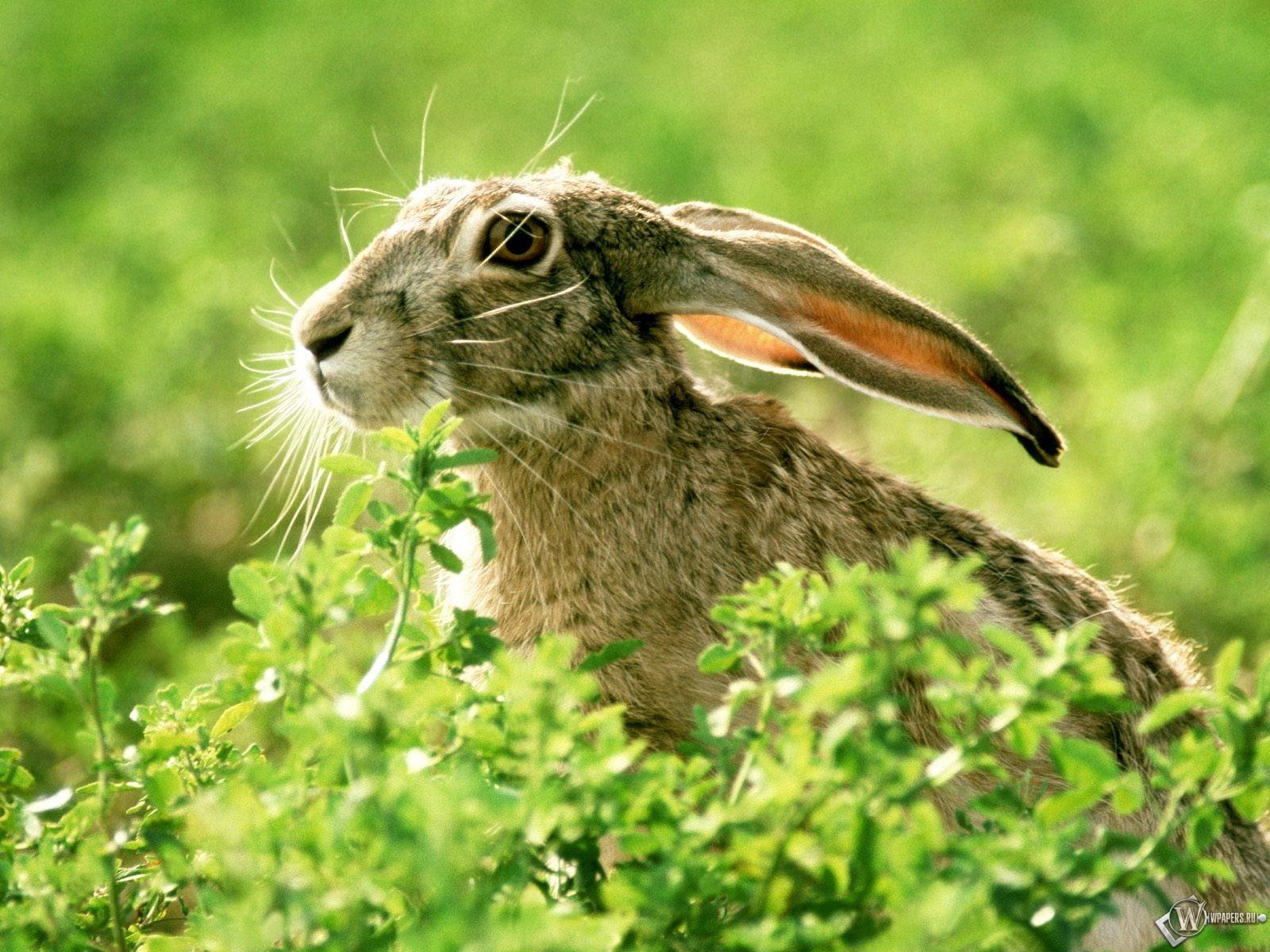 Заяц в кустах 1600x1200
