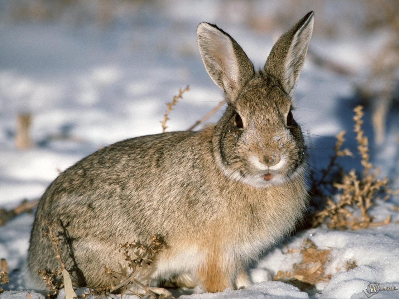 Обои заяц русак на снегу снег заяц