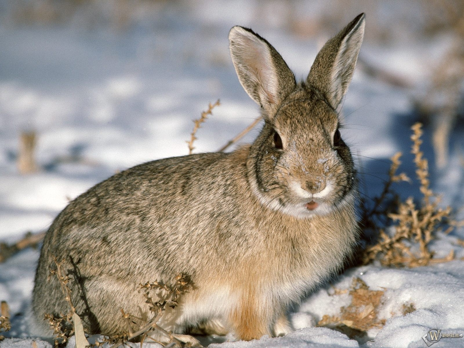 Заяц-русак на снегу 1600x1200