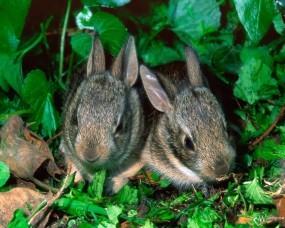 Обои Парочка крольчат: Кролики, Зайцы
